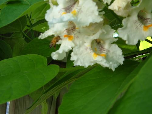catulpa pollenation