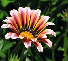 striped petals (suzyr) Tags: flower stripes exploreinterestingness breathtaking supershot canons3is suzyr