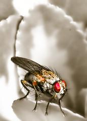 LN_0707_Flickr052 (17% Grey) Tags: macro fly bugs wirelessflash nikonsb800 nikond200 nikoncls sigma105mmprime