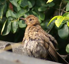 the young one 1 (atsjebosma) Tags: bird nature garden europa feathers young nederland thenetherlands natuur tuin thrush vogel jong lijster veren snavel 10faves