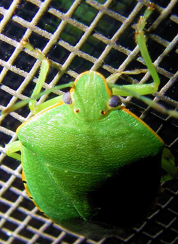 green-insect2