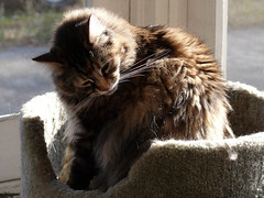 Sun Glow (Glenn Harris (Clintriter)) Tags: pets sun cute cat tortie backporch maxine cc200 cc100 bestofcats kittyschoice cwcc boc0807