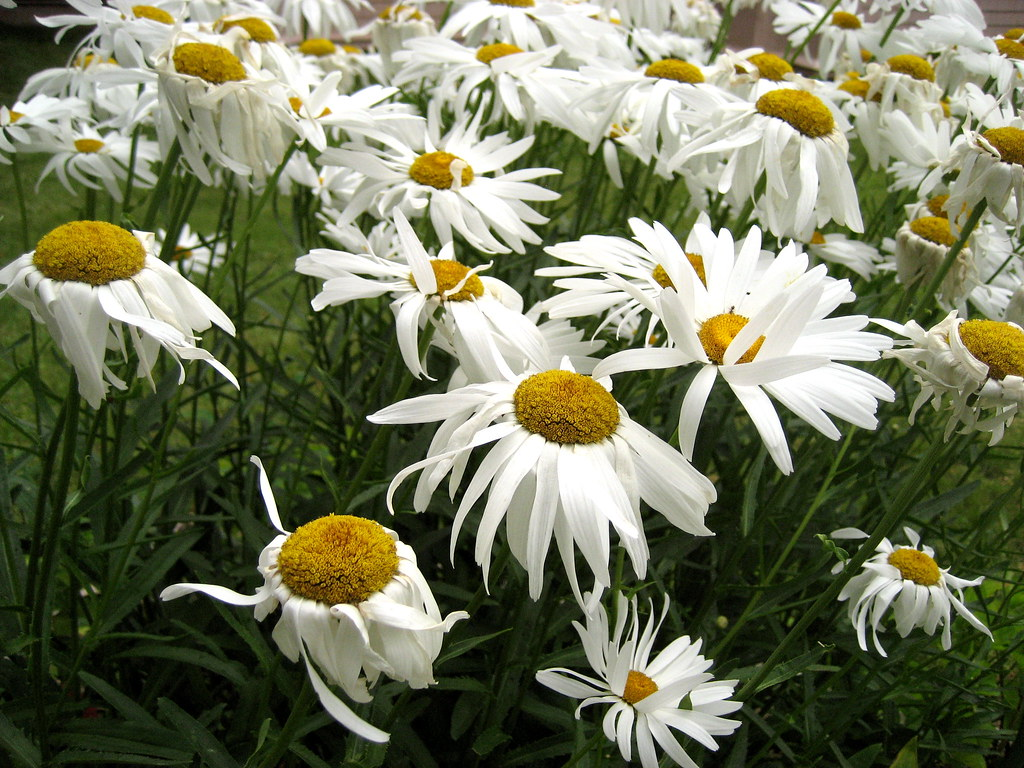 The worlds most recently posted photos of daisies and tumblr daisies blowing in the wind chris campbell tags flowers summer daisies newbrunswick sackville izmirmasajfo