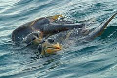 ...la Vida es ms Sabrosa (Plumerio Pipichas) Tags: sea animal mxico lafotodelasemana mar turtle shell oaxaca mating seaturtle tartaruga tortue tortugas bigmomma zd 40150mm golfina caparazn chelonian tortugamarina challengeyouwinner ltytrx5 ltytr2 ltytr1 plumeriopipichas lfsvacaciones wildlifa animalesenlibertad apparier