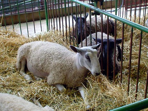 Blue Faced Leicester Sheep