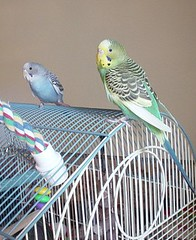 twobudgies (PhotoPieces) Tags: bird budgie parakeet ilovebirds