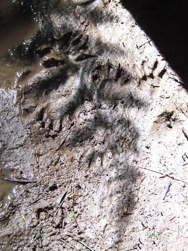 coon tracks