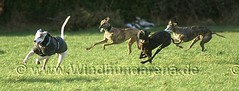 PICT0130 (windhundarena) Tags: dog greyhound dogs sport grey tiere europameisterschaft weltmeisterschaft hund espanol fotos agility schmidt ulrich gelsenkirchen ruhrgebiet uli haustier hunde tier arny haustiere weltmeister windhund coursing recklinghausen ruhrpott tierfoto tierfotos meisterschaft herten galgo galgos jagdhund windhunde wrv galga hundewiese europameister hundesport hunderennen hundefotos windhundarena rennhund kikami galgas hunderennbahn jederhundrennen blacktoxic