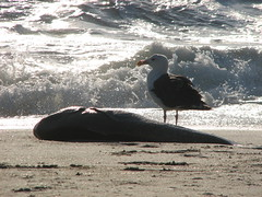 Gull and Fish (DanCentury) Tags: ocean sea animals newjersey creatures seacreatures oceanlife seabright