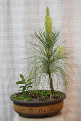 Slash Pine / Pinus Elliotti Bonsai (Xtolord) Tags: slash pine bonsai pinus slashpine pinuselliottii potensai elliottii elliotti pinuselliotti pinebonsai slashpinebonsai pinepotensai slashpinepotensai xtolord