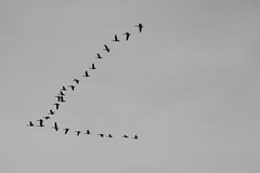 V Formation (Ben DeFlorio) Tags: sky monochrome geese blackwhite vformation flyingsouth canong9