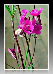 P Romanian flora (CameliaTWU) Tags: mountains flora romania apuseni vulgaris pinkflowers stickycatchfly viscaria bedeciu westerncarpathian