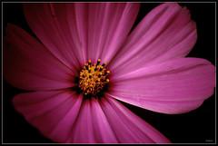 Interiorisme (alsuvi) Tags: naturaleza flower macro colors closeup albert flor natura nikond50 flowerotica ltytr1 alsuvi