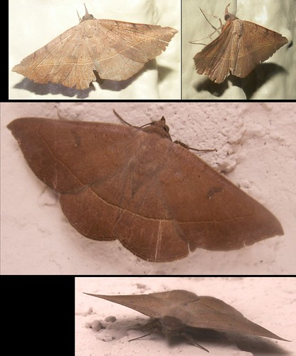 Two Male Curve-Toothed Geometer Moths