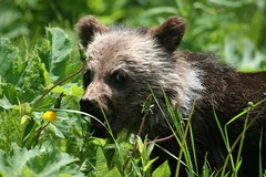 Wild Baby Grizzly 2 - by ru_24_real