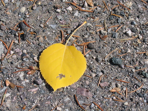 217 - Yellow Aspen Leaf 2