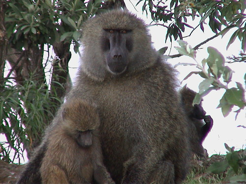 Baboon with Child