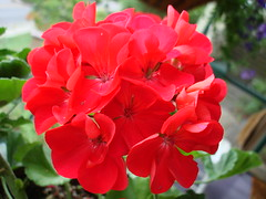 Geranium (artstr2) Tags: pink red flower color garden nc asheville geranium abigfave flowercolors