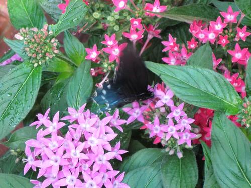 Olbrich butterfly 3