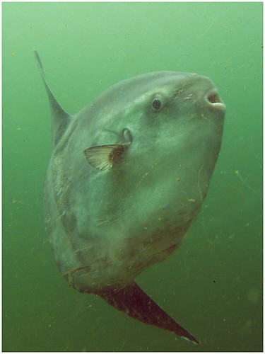 Ocean Sunfish in Puget sound