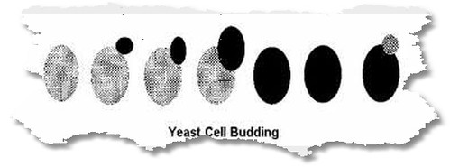yeast cell budding
