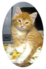 Orange Tabby Creamsicle Kitten - I Think His Name is Comet (Pixel Packing Mama) Tags: aww catsandkittensset gingercats catskittensset heartlandhumanesociety pixelpackingmama dorothydelinaporter worldsfavorite reallyunlimited abigfave montanathecat~fanclubpool favoritedpixset kissablekat spcacatspool ceruleanthecat~fanclubpool canona570isclub thecorvallisoregonyearsset allcatsallowedpool uploadedsecondhalfof2007set buffcreamcreamsicleorangetabbytanbeigegingercatsset update4sure update4sureset pixelpackingmama~prayforkyronhorman oversixmillionaggregateviews over430000photostreamviews