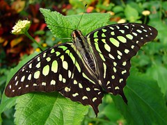Tailed Jay (Graphium agamemnon) (Tjflex2) Tags: life trip travel flowers vacation plants holiday canada macro nature beautiful gardens butterfly garden insect botanical pretty bc butterflies biosphere 321 conservatory victoria 200 views tropical amateur invite naturalwonders mothernature butterflygardens aclass naturegroup brp blueribbonwinner tailedjay graphiumagamemnon instantfave flickrsbest top20colour kartpostal passionphotography greenspottedtriangle specinsect amazingshots diamondclassphotographer flickrdiamond greatphotographicart elpasojoes flickrelite exemplaryshots eyejewels challangesandcomments flickrmacroaward colourartaward theexploremachine papiliondae goldstaraward