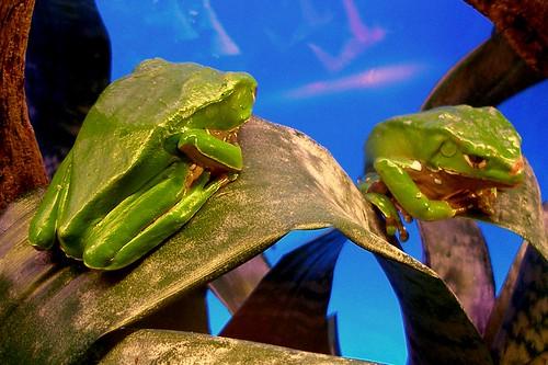 Phyllomedusa bicolor - Rana Mono
