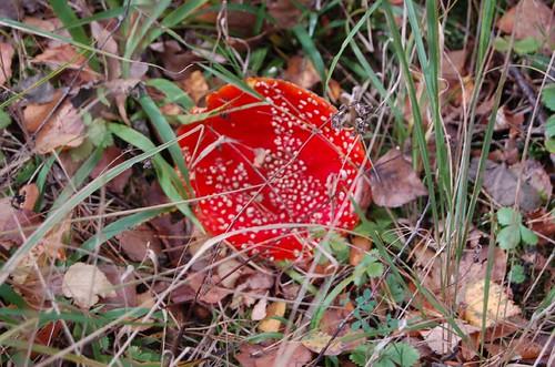 muchomor czerwony