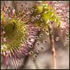 sticky fingers (UnclePedro) Tags: wildflowers westernaustralia drosera gtaggroup