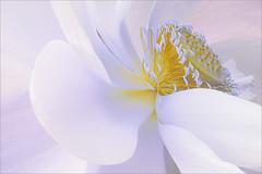 Lotus Flower Petals - IMG_3782 (Bahman Farzad) Tags: flower macro yoga peace lotus relaxing peaceful meditation therapy lotusflower lotuspetal lotuspetals lotusflowerpetals lotusflowerpetal