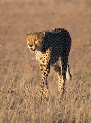 Cheetah Stalking at Dusk, Kgalagadi TP June 2010