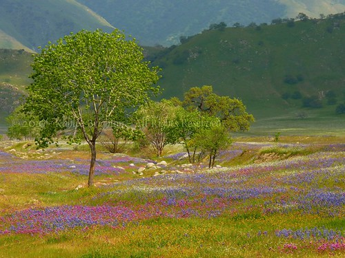Wildflower Season Gets Early Start At Wind Wolves - South County