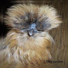 Silkie garden: Mango (Silkie garden) Tags: chicken kip rooster poule silky haan silkie zijdehoen zijdehoenders poulesoie poulenégre