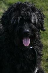36 weken 325 (Amigrante Nnimo) Tags: dog chien cane fur hond tommy perro hund pelo badbreath peludo elmejoramigodelhombre malaliento muchopelo elmejoramigodestehombre