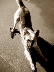 HUGOS PLAY / EL JUEGO DE HUGO (Erniebm) Tags: dog beach dogs sepia happy sand play joy playa arena perro enjoy perros hugo juego jugando villagesell happyness naturesfinest vidadeperros aplusphoto