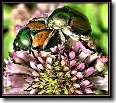 Popillia japonica - by K2D2vaca