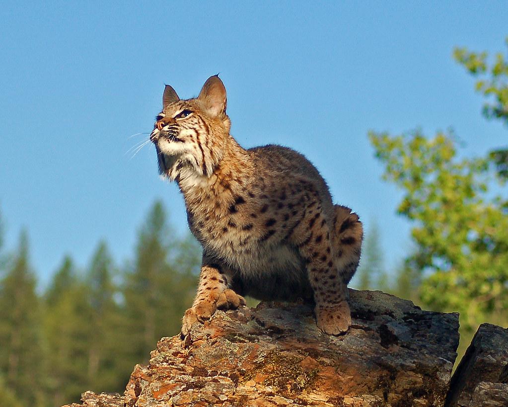 Bobcats pouncing