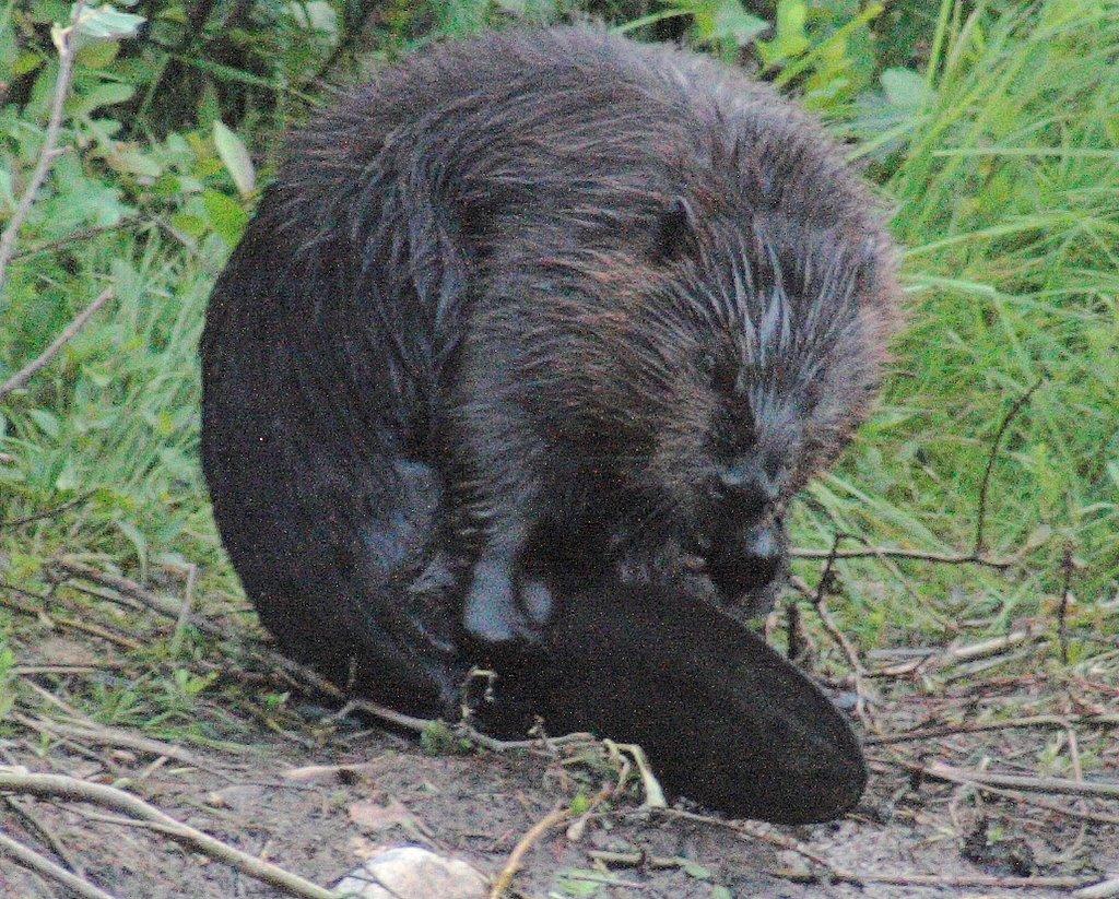beaver shot #2