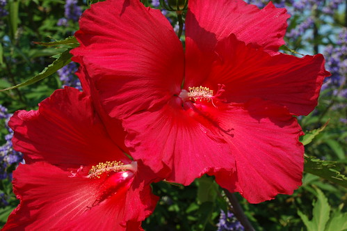 Hibiscus, Pier 44 Waterfront Garden, Red Hook, Brooklyn