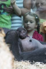2007-08-02-13h12m54.IMG_3640e (A.J. Haverkamp) Tags: amsterdam artis thenetherlands gorilla dierentuin dob12072007 httpwwwartisnl dob03061985 shomari pobamsterdamthenetherlands pobrotterdamthenetherlands zoo shindy sindy