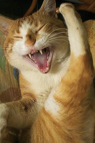 Gato riendo