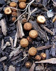 usa mushroom birds oregon garden nest fungi fungus unknown birdsnest basidiomycota cyathus jackidee wermsrus