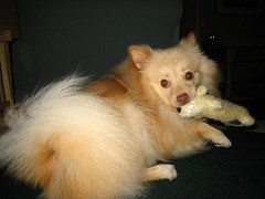 IMG_5071 (kelaltieri) Tags: bear dog baby puppy nj pomeranian woobie mahwah germanspitz kleinspitz
