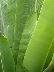 Banana Leaf (raniel1963) Tags: plants plant verde green puerto leaf puertorico banana rico tropical isla isladelencanto ojas portorico borinquen guineo raniel1963raniel1963raniel1963