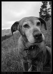DCRartist_oldshasta001 (David Richeson) Tags: bw dog pet face powder trail alberta shasta mountians viszla
