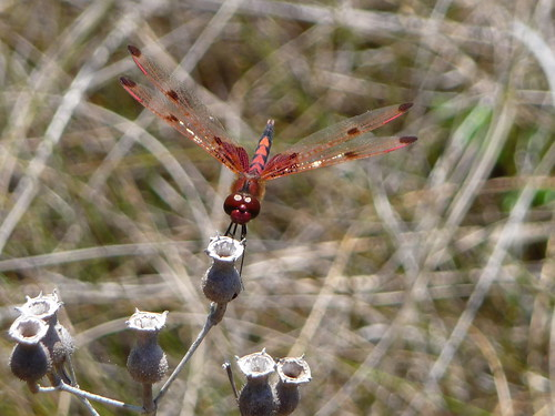Red Dragonfly - Yellow River Marsh Preserve State Park