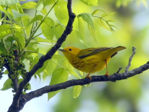 Yellow Warbler 20100515