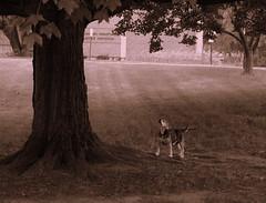 En Garde (AlexRuz) Tags: dog beagle abby hunting baltimoremarylandpikesvilleeveningwalkheatsummersweathumiditynotcomplainingbecauseilltakethisoversnowanyday