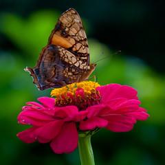 Butterfly on a vivid flower (Ferdi's - World) Tags: bridge costarica ferdi 15days djoser middenamerika infinestyle ferdisworld holiday2010 vakantie2010 15dagen